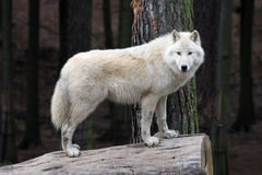 Arctic white wolf Royalty Free Stock Photo