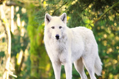 Arctic White Wolf Canis lupus arctos aka Polar Wolf or White Wolf Royalty Free Stock Image
