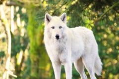 Arctic White Wolf Canis lupus arctos aka Polar Wolf or White Wolf Royalty Free Stock Image