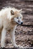 Arctic white wolf Stock Photos