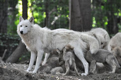Arctic white wolf Stock Photos