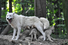Arctic white wolf Stock Images