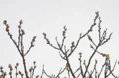 Arctic willow - Salix arctica. Differing from woolly willow by the slightly more arrow-headed catkin, and the lack of stipules. This is it's early spring form Royalty Free Stock Photos