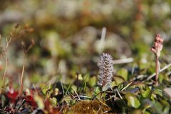 Arctic Willow or Salix arctica found on the arctic tundra stock image