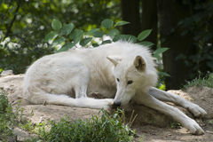 Arctic Wolf Royalty Free Stock Photography