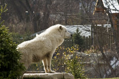 Arctic wolf. A white wolf perched on a hill Royalty Free Stock Photo