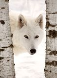 Arctic Wolf. Seen between two trees in winter Stock Image