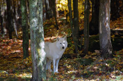 Arctic Wolf. In a majestic forest in autumn Royalty Free Stock Photos