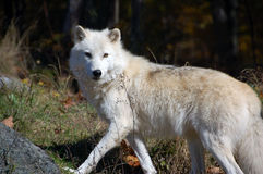 Arctic Wolf. In a majestic forest in autumn Stock Photos