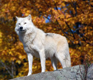 Arctic Wolf. In a majestic forest in autumn Stock Photo