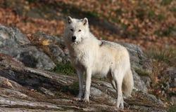 Arctic wolf Stock Photos