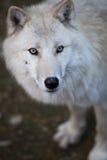 Arctic Wolf. (Canis lupus arctos) aka Polar Wolf or White Wolf - Close-up portrait of this beautiful predator Stock Photos