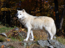 Arctic Wolf. In a majestic forest in autumn Stock Images