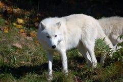 Arctic Wolf Stock Image