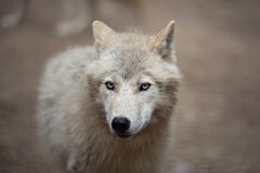 Arctic Wolf Royalty Free Stock Photos