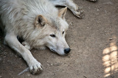 Arctic wolf. (Canis lupus arctos) laying on the ground Stock Photography