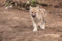 Arctic wolf. The juvenile of arctic wolf (Canis lupus arctos Stock Photography