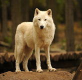 Arctic Wolf. To the natural habitat Stock Photos