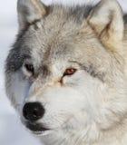 Arctic wolf Stock Photo