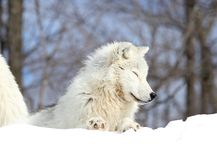 Arctic wolf. In nature during winter Stock Photo