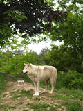 Arctic wolf. A beautiful arctic wolf standing on a hill Stock Images