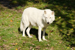 Arctic wolf Royalty Free Stock Photo