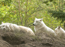 Arctic wolf. The arctic wolf, also called polar wolf or white wolf Stock Images
