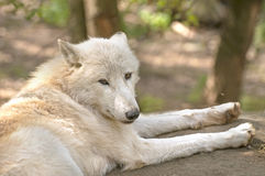 Arctic wolf. The arctic wolf, also called polar wolf or white wolf Stock Image