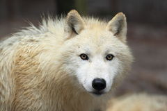Arctic wolf. The detail of gazing arctic wolf Stock Photo