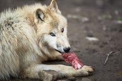 Arctic Wolf. (Canis lupus arctos) aka Polar Wolf or White Wolf stock photos