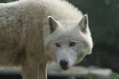 Arctic wolf. Arctic wold in zoo Royalty Free Stock Photography
