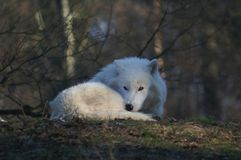 Arctic wolf. Laying and looking at the camera Royalty Free Stock Photo