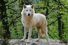 Arctic wolf. Is able tolerate years of sub-zero temperatures, up to five months of darkness a year Stock Photography