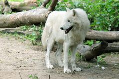 The Arctic Wolf Stock Photo