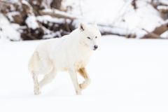 Arctic wolf with bright eyes. In snow Stock Photo