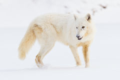 Arctic wolf broadside Royalty Free Stock Photo