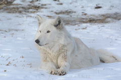 Arctic Wolf Cameo Royalty Free Stock Photography