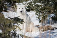 Arctic Wolf Camouflaged In The Snow Royalty Free Stock Photo