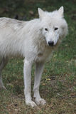 Arctic wolf -Canis lupus arcto. A picture of a white arctic wolf Stock Photos