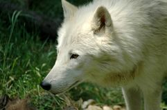 Arctic wolf (Canis lupus arctos). Head of a white Arctic wolf royalty free stock photography