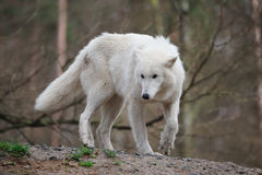 Arctic Wolf (Canis lupus arctos). The Arctic Wolf (Canis lupus arctos), also called Polar Wolf or White Wolf, is a subspecies of the Gray Wolf  (Wildpark Alte Stock Images