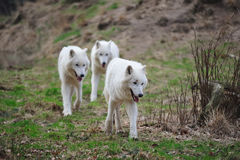 Arctic Wolf (Canis lupus arctos). The Arctic Wolf (Canis lupus arctos), also called Polar Wolf or White Wolf, is a subspecies of the Gray Wolf  (Wildpark Alte Royalty Free Stock Images