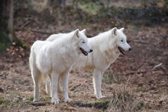 Arctic Wolf (Canis lupus arctos). The Arctic Wolf (Canis lupus arctos), also called Polar Wolf or White Wolf, is a subspecies of the Gray Wolf (Wildpark Alte stock photo
