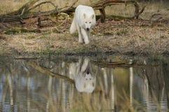 Arctic Wolf ( Canis Lupus Arctos ) Stock Photo
