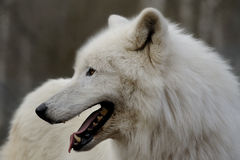 Arctic Wolf ( canis lupus arctos ) stock photo
