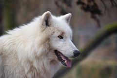 Arctic Wolf (Canis lupus arctos). The Arctic Wolf (Canis lupus arctos), also called Polar Wolf or White Wolf, is a subspecies of the Gray Wolf (Wildpark Alte royalty free stock photos