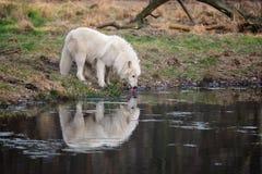 Arctic Wolf (Canis lupus arctos) Royalty Free Stock Photos