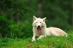 Arctic Wolf (Canis lupus arctos). The Arctic Wolf (Canis lupus arctos), also called Polar Wolf or White Wolf, is a subspecies of the Gray Wolf (Deer Park stock photo