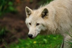 Arctic Wolf (Canis lupus arctos) Stock Photo