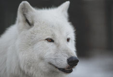 Arctic Wolf (Canis lupus arctos) aka Royalty Free Stock Photo